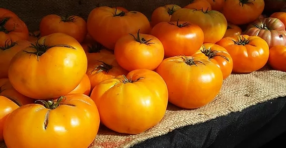 A picture of orange tomatoes at the Mercer Island Farmers Market in Mercer Island, Washington